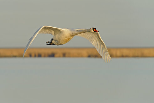 Germany, Schleswig-Holstein, Mute swan, Cygnus olor, flying - HACF000091