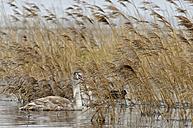 Germany, Schleswig-Holstein, Mute swan, Cygnus olor, young animal - HACF000095