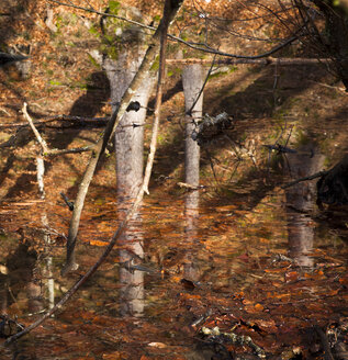 Germany, Bavaria, Refections of trees in a pond - FCF000121