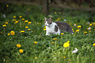 Germany, Baden-Wuerttemberg, Grey white tabby cat, Felis silvestris catus, walking on meadow - SLF000401