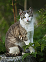 Germany, Baden-Wuerttemberg, Grey white tabby cat, Felis silvestris catus, sitting on stone - SLF000404