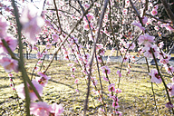 Japan, Kyoto, twigs of a blossoming plum tree - FLF000466