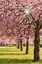 Germany, Hamburg, Cherry blossom in the city - CSTF000289