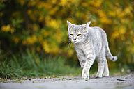 Germany, Baden-Wuerttemberg, Grey tabby cat, Felis silvestris catus, on way - SLF000408