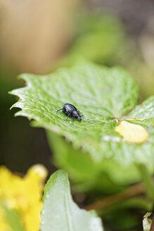 Austria, Styria, Leoben, trunk beetle, Curculionidae, sitting on leaf - GFF000457