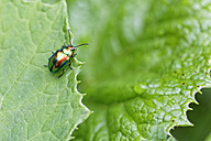 Dead nettle leaf beetle, Chrysolina fastuosa, sitting on leaf - GFF000460