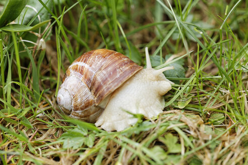 Edible snail, Helix pomatia, creeping on grass - GFF000463