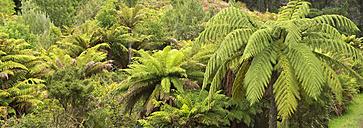 New Zealand, Chatham Island, Tree ferns - SHF001225
