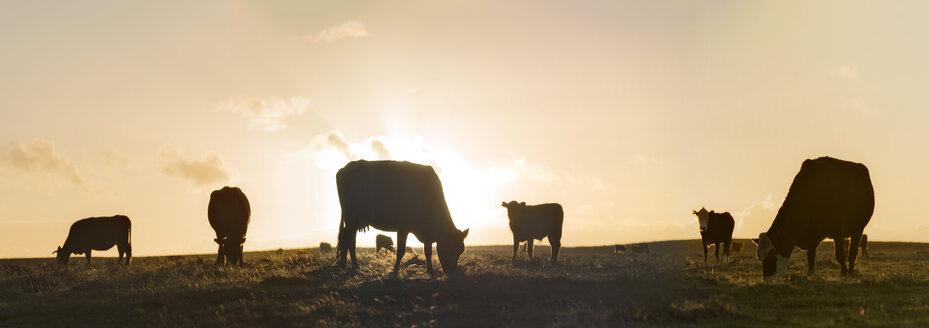 New Zealand, Chatham Island, Cattle against evening sky - SHF001189