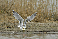 Germany, Schleswig-Holstein, Herring gull, Larus argentatus, stealing egg - HACF000098