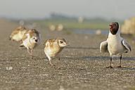Germany, Schleswig-Holstein, Black-headed gulls, Chroicocephalus ridibundus, Adult and young animals - HACF000107