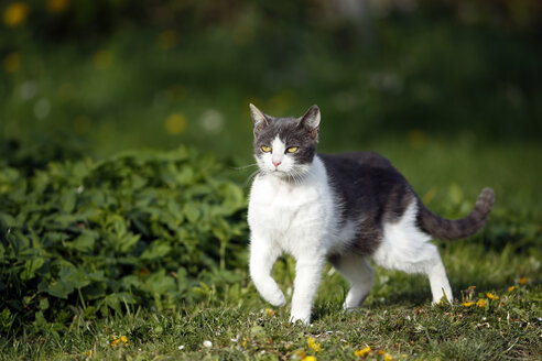 Germany, Baden-Wuerttemberg, Grey white tabby cat, Felis silvestris catus, standing on meadow - SLF000413