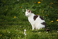 Germany, Baden-Wuerttemberg, Grey white tabby cat, Felis silvestris catus, sitting on meadow - SLF000415