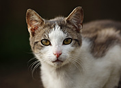 Germany, Baden-Wuerttemberg, Brown white tabby cat, Felis silvestris catus, Portrait - SLF000416