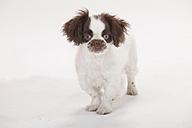 Portrait of mongrel puppy standing in front of white background - HTF000425