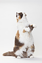Portrait of British Longhair Cat begging in front of white background - HTF000439