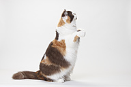 Portrait of British Longhair Cat begging in front of white background - HTF000440