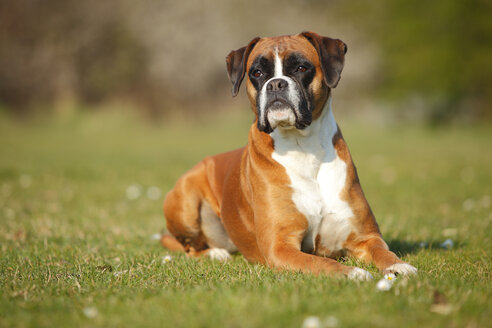 Portrait of German Boxer lying on a meadow - HTF000456
