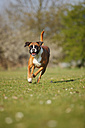 Portrait of German Boxer running on a meadow - HTF000460