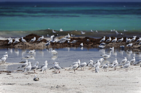 Australia, Western Australia, Lancelin, flock of seagulls at waterside - MIZ000471