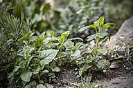 Germany, Baden-Wuerttemberg, Lemon balm, Melissa officinalis, in garden - SBDF000848