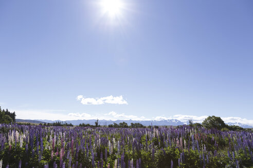 New Zealand, violet lupines, Lupinus, in front blue sky - STDF000080