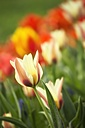 Germany, Constanze district, Tulips, Tulipa, on meadow - ELF000946