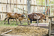 Germany, Bavaria, Birth of a lamb - MAEF008317