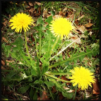 Dandelion with 3 flowers - SRSF000466