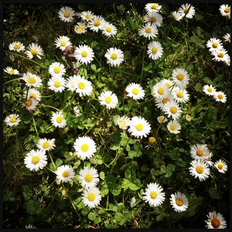 Grass covered with daisies, Germany - SRSF000467