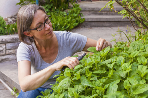 Portrait of woman cutting lemon balm, Melissa officinalis, with gardening clipper - WDF002493