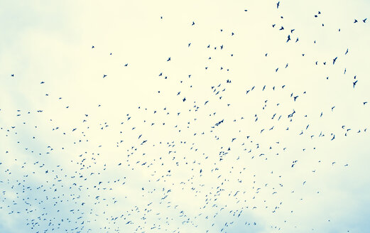 Flock of birds in front of cloud - DISF000836