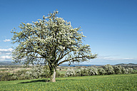 Germany, Baden-Wuerttemberg, Constance District, Meadow with scattered fruit trees, Apple trees, Malus - ELF000955