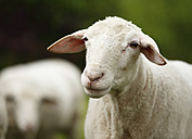Bleating domestic sheep, Ovis orientalis aries - SLF000421