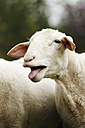 Head of bleating domestic sheep, Ovis orientalis aries - SLF000422