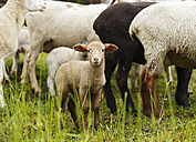Brown lamb, Ovis orientalis aries - SLF000423