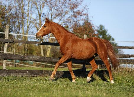 Germany, Baden-Wuerttemberg, Hohenlohe, Warmblood, Equus ferus caballus, Sorrel, Gelding trotting - SLF000433