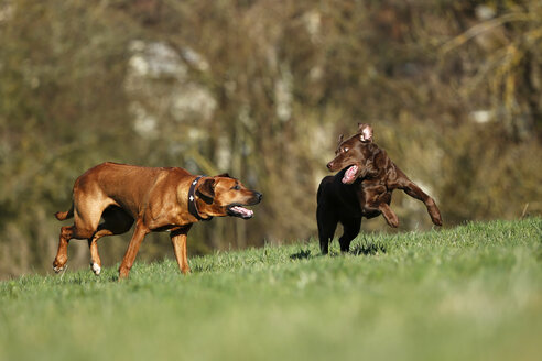 Rhodesian Ridgeback and brown Labrador Retriever, Canis lupus familiaris, playfighting on a meadow - SLF000439
