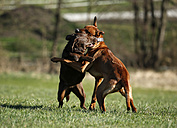 Rhodesian Ridgeback and brown Labrador Retriever, Canis lupus familiaris, playfighting on a meadow - SLF000438