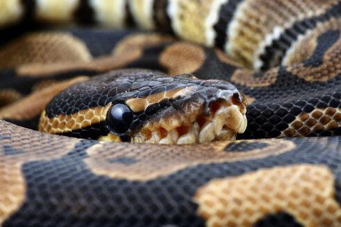 Royal Python, Python regius, partial view - MJOF000033
