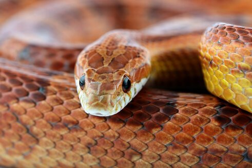 Corn snake, Pantherophis guttatus, partial view - MJOF000034