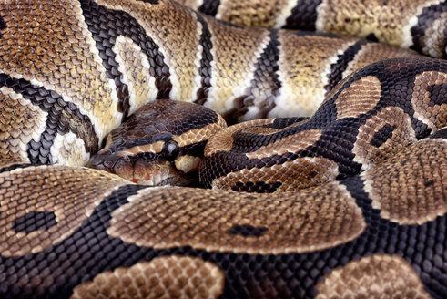 Royal Python, Python regius, partial view - MJOF000037