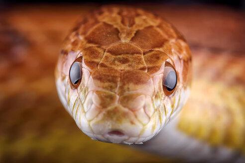 Head of corn snake, Pantherophis guttatus - MJOF000042