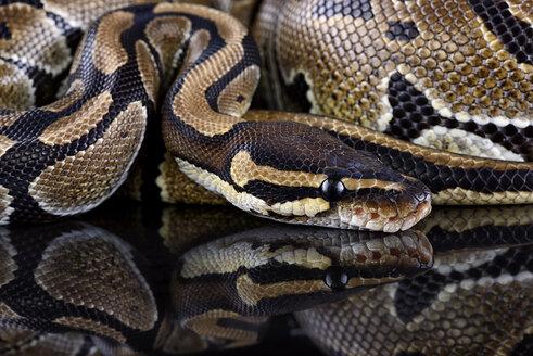 Royal Python, Python regius, partial view - MJOF000048