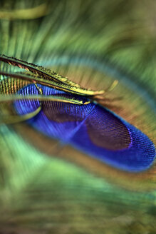 Detail of peacock's feather - MJOF000026