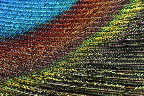 Detail of peacock's feather - MJOF000029