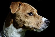 Portrait of Jack Russel Terrier in front of black background - MJOF000074