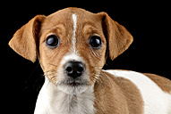Portrait of Jack Russel Terrier puppy in front of black background - MJOF000078