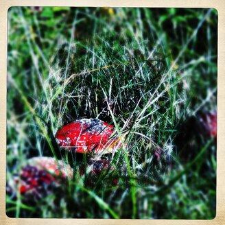 Germany, North Frisia, Amrum, fly agaric (amanita muscaria) on the roadside - MMO000188