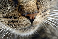 Snout of tabby cat, Felis silvestris catus, partial view - MJOF000092